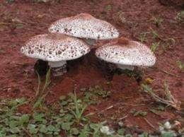 Termite creates sustainable monoculture fungus-farming