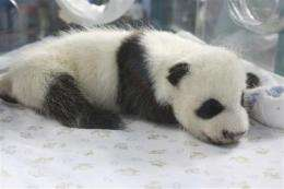 Thai zoo's 1st baby panda goes on display (AP)