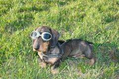 The gene for day blindness in the dachshund has been found