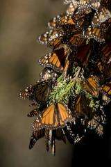 The Monarchs' annual migration ritual has yet to be scientifically explained