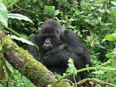 This photo, provided by the Rwanda Development Board of Tourism and Conservation, shows the silverback gorilla Titus