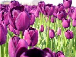 The tulip entered Europe through al-Andalus five centuries before believed