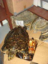 Turtles no longer turned into souvenirs