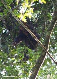 Uganda Wild Chimps