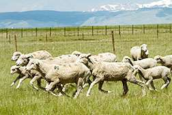 Ultrasound Used for Better Breeding in Sheep