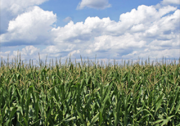 U.S. Crop Yields Could Wilt in Heat