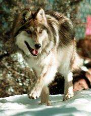 Wolf release in Mexico sparks concern in US (AP)