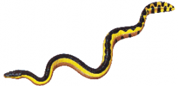 Yellow-bellied sea snake