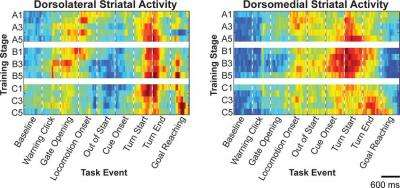Researchers find two brain circuits involved with habitual learning