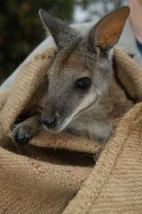 Tammar wallaby's clever immune tricks revealed
