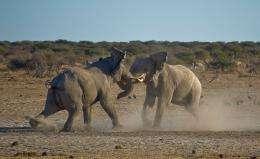 Bull elephants' social behavior varies with the rainfall