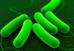 E. coli bacteria engineered to eat switchgrass and make transportation fuels