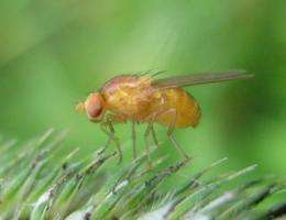 Fruit flies on meth: Study explores whole-body effects of toxic drug