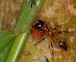 How ants tame the wilderness: Rainforest species use chemicals to identify which plants to prune