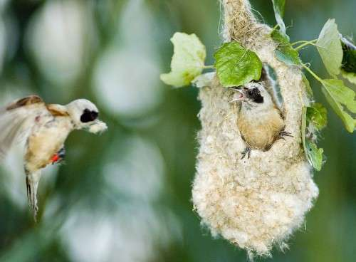 Meet the polygamous birds that don't hang around