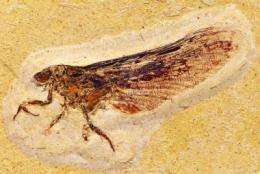 Mysterious fossils provide new clues to insect evolution