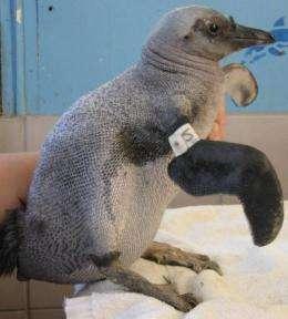 'Naked' penguins baffle experts