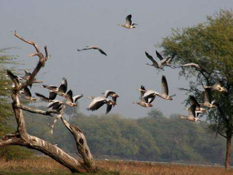 Sky's no limit in high-Flying goose chase