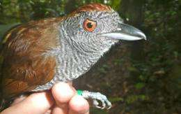 Tropical Birds Return to Harvested Rainforest Areas in Brazil