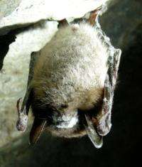 Unlocking the mystery of the disappearing bats