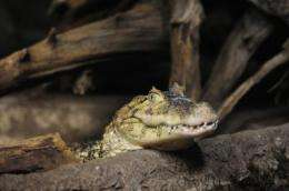 Wildlife Conservation Society recommends health measures for Argentina's caiman ranches