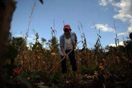 A farmer works in a dried corn field around the village of Felipe Carrillo Puerto in the Mexican state of Quintana Roo