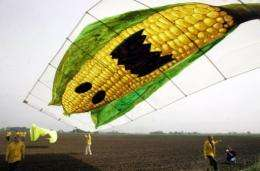 Greenpeace activists fly a kite displaying a giant corn cob on an acre in Seelow, eastern Germany