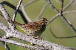 It's no sweat for salt marsh sparrows to beat the heat if they have a larger bill