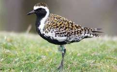 Plovers tracked across the Pacific
