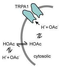 Researchers explain how animals sense potentially harmful acids