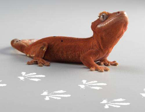 Scientists trace gecko footprint, find clue to glue