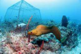 Study in underwater laboratory may help manage seaweed-eating fish that protect coral