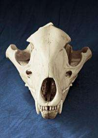 Tasmanian tiger's jaw was too small to attack sheep, study shows