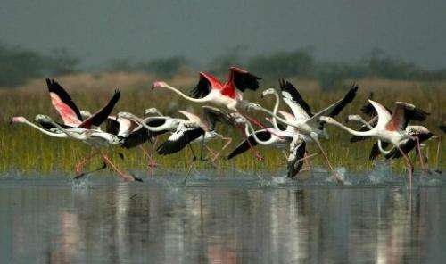 Tens of thousands of flamingos turn the flat, warm marshes of Gujarat state into a sea of pink every year