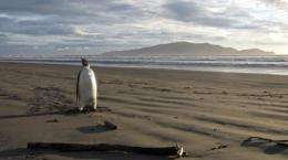 The emperor penguin that washed up lost on a New Zealand beach