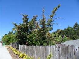 Tree-killing pathogen traced back to California