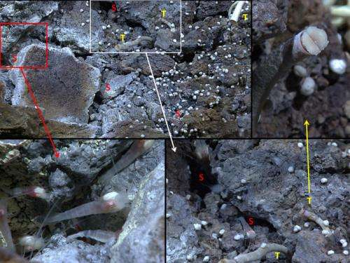 Scientists discover chemosynthetic shrimp, tubeworms together for first time at hydrothermal vent