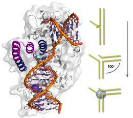Study suggests enzyme crucial to DNA replication may provide potent anti-cancer drug target