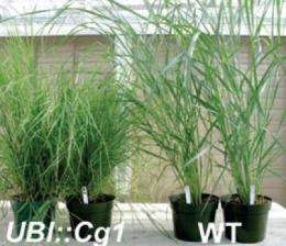 A corny turn for biofuels from switchgrass