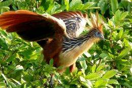 Across the Atlantic on flotsam: New fossil findings shed light on the origins of the mysterious bird Hoatzin