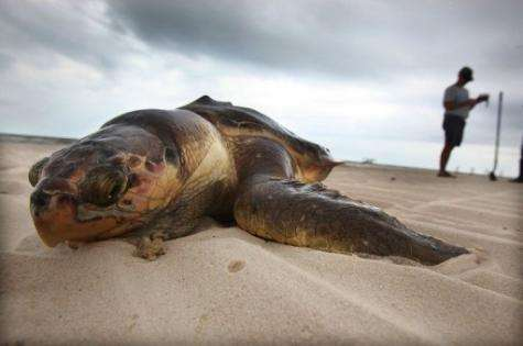 A dead sea turtle is seen after it was pulled out of the surf in Waveland, Mississippi