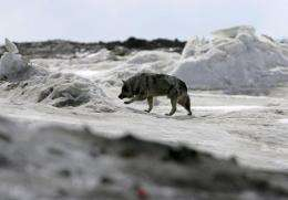 A dog walks along the frozen Arctic Ocean in Browerville, Alaska, in 2006