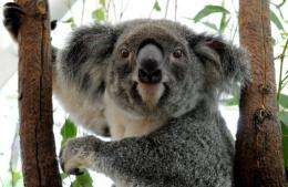 A koala displaced by flood waters recovers in an emergency shelter in Brisbane