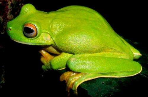 A large green tree-dwelling frog, Litoria dux, was amongst 1,000 new species recently found in New Guinea