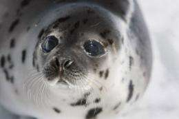 Alaska seals have been suffering from skin lesions, hair loss and skin ulcers