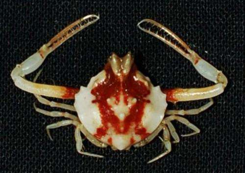A likely new species of Iphiculus crab