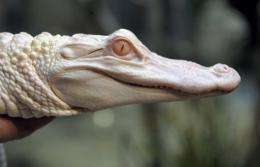 An albino alligator from Louisiana is pictured in France in 2010