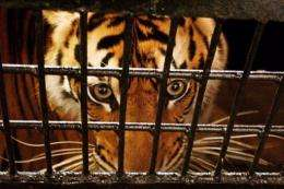 An endangered five-year old Sumatran tiger is placed in a transport cage in Banda Aceh