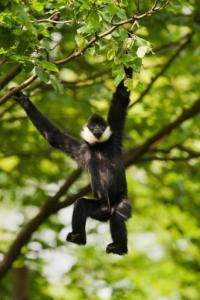 a northern white-cheeked crested gibbon (Nomascus leucogenys) in an undisclosed location in Vietnam