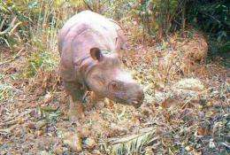 An undated picture released on December 30 by Ujung Kulon national park shows a Javan rhino